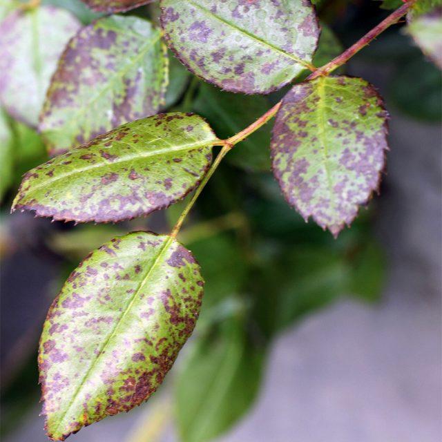 Калийный хлороз можно определить по состоянию краев листьев розы
