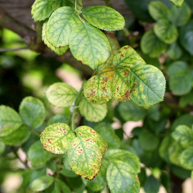 Недостаток магния на розе проявляется в первую очередь на нижней листве куста