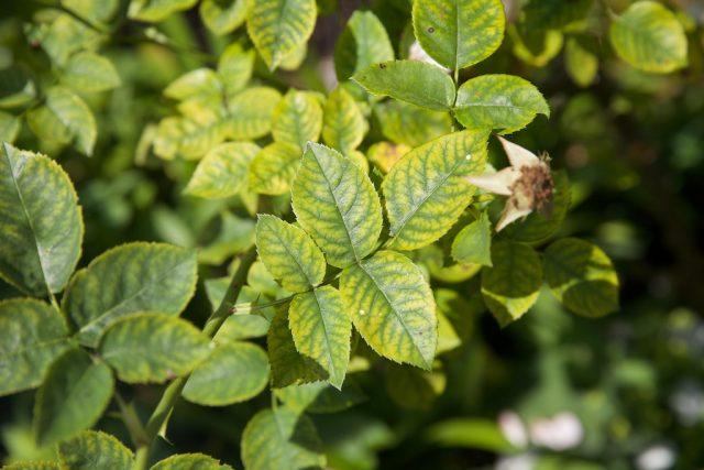 Нехватка марганца у роз проявляется изменением цвета старых листьев между жилками