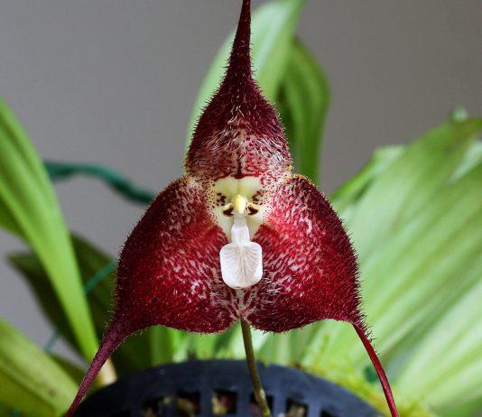 Орхидея дракула — особенная во всём