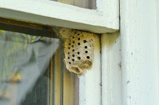 Гнездо осы пелопей