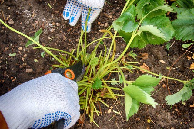 После сбора последних ягод растению дают время на «отдых», обрезают кусты, заботятся о почве и профилактике