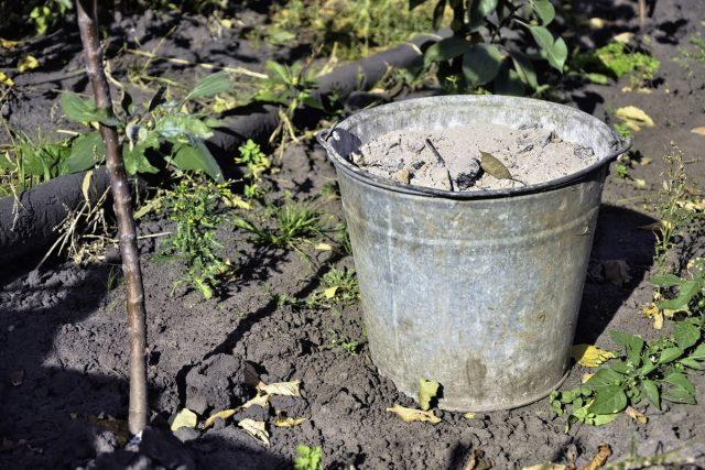 Главное осеннее удобрение для земляничных грядок — зола