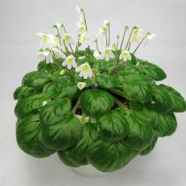 Петрокосмея Барбата (Petrocosmea barbata)