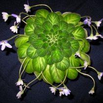 Петрокосмея дюкло (Petrocosmea duclouxii)