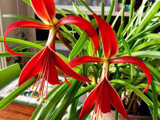 Спрекелия — самая элегантная среди комнатных луковичных
