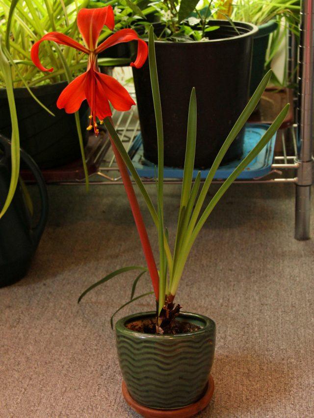 Спрекелия великолепная (Sprekelia formosissima)