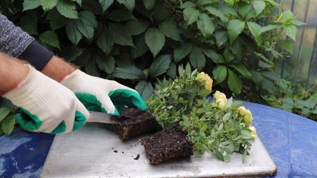 Как поделить саженец розы на несколько растений?