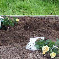 Заправьте посадочную яму компостом и хорошо пролейте. Высадите саженцы