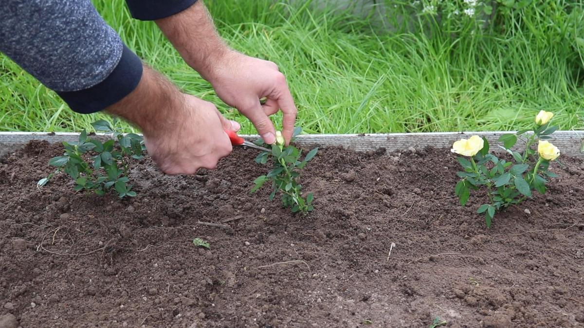 Срежьте все цветы и бутоны и обильно полейте посадки водой