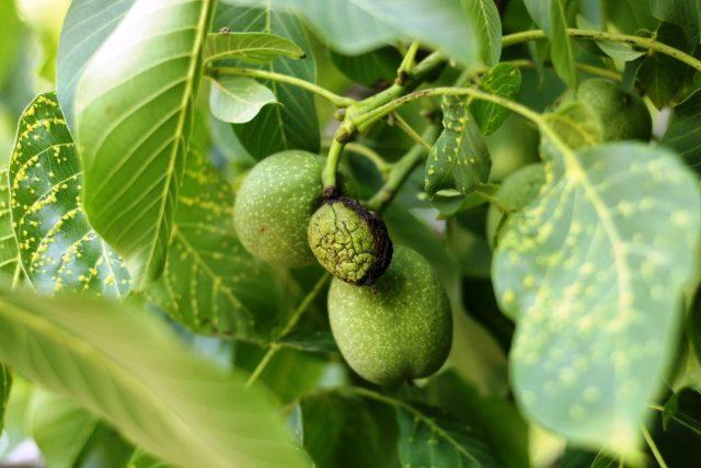 Бактериальные поражения грецкого ореха — как распознать и бороться?