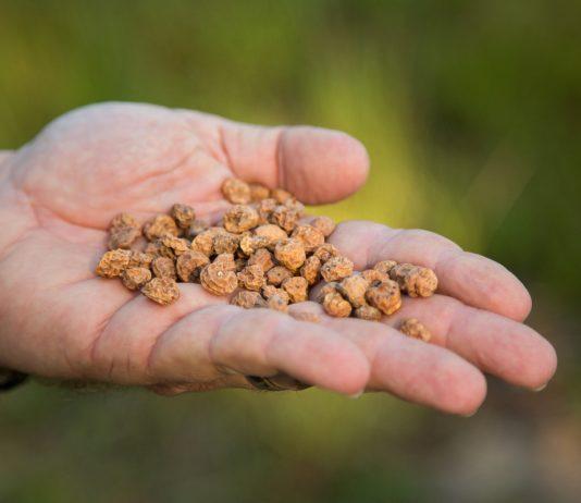 Чуфа — как выращивать и использовать?