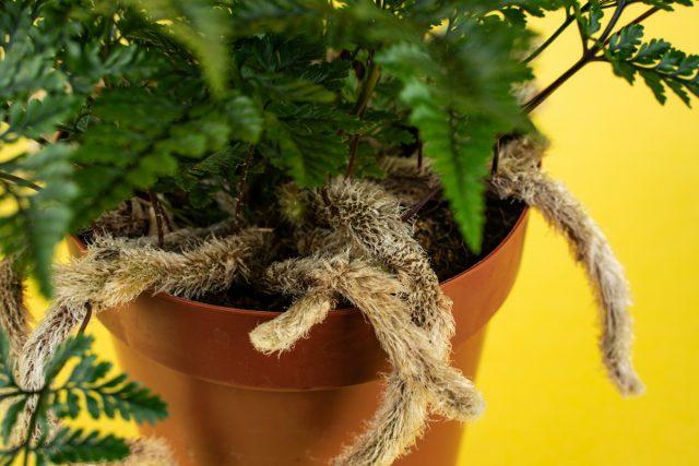Для даваллии подходят и специальные удобрения для папоротников, и комплексные смеси для декоративно-лиственных растений