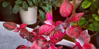 Ирезине — вишневое чудо на вашем подоконнике