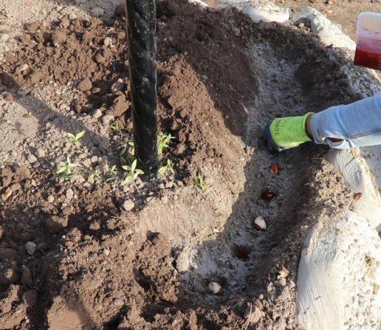 Как высадить луковицы тюльпана?