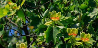 Как выращивать в саду тюльпановое дерево?