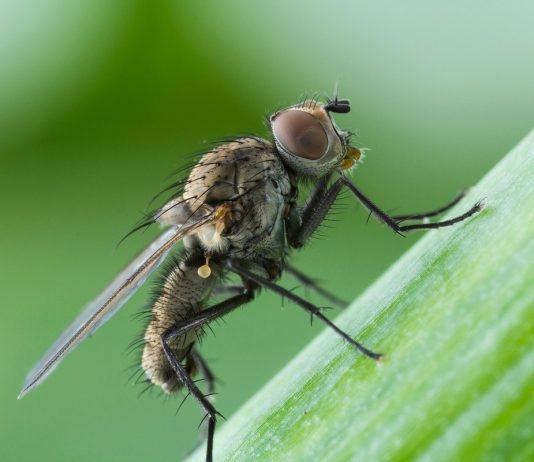Луковая муха — народные способы борьбы