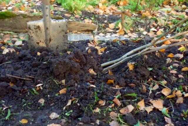Если саженцы куплены осенью, до весны их лучше продержать в прикопе