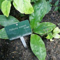 Палисота Манна (Palisota mannii)