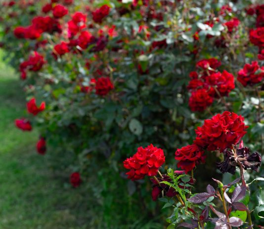 Живая изгородь из роз — принципы создания и особенности ухода